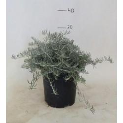 Helichrysum Serpyllifolium