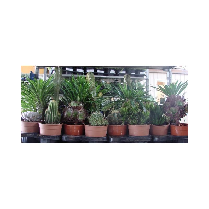 Piante grasse riviera piante for Tutte le piante grasse