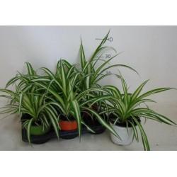 Falangium or Chlorophytum