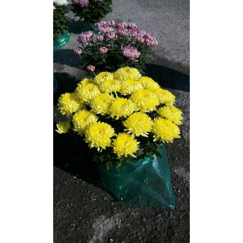 Crisantemi riviera piante - Crisantemi in vaso ...