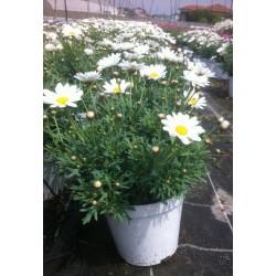 Anthemis blanche