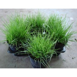 Herbes aux chats